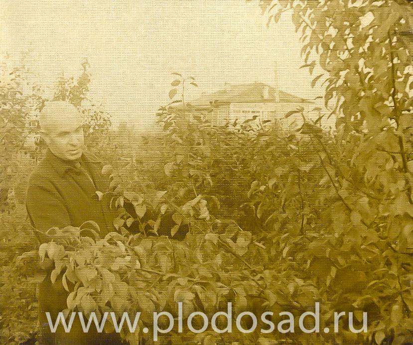 С. Т. Чижов в саду около Шафран-китайки, октябрь 1954 г. Фотограф неизвестен.