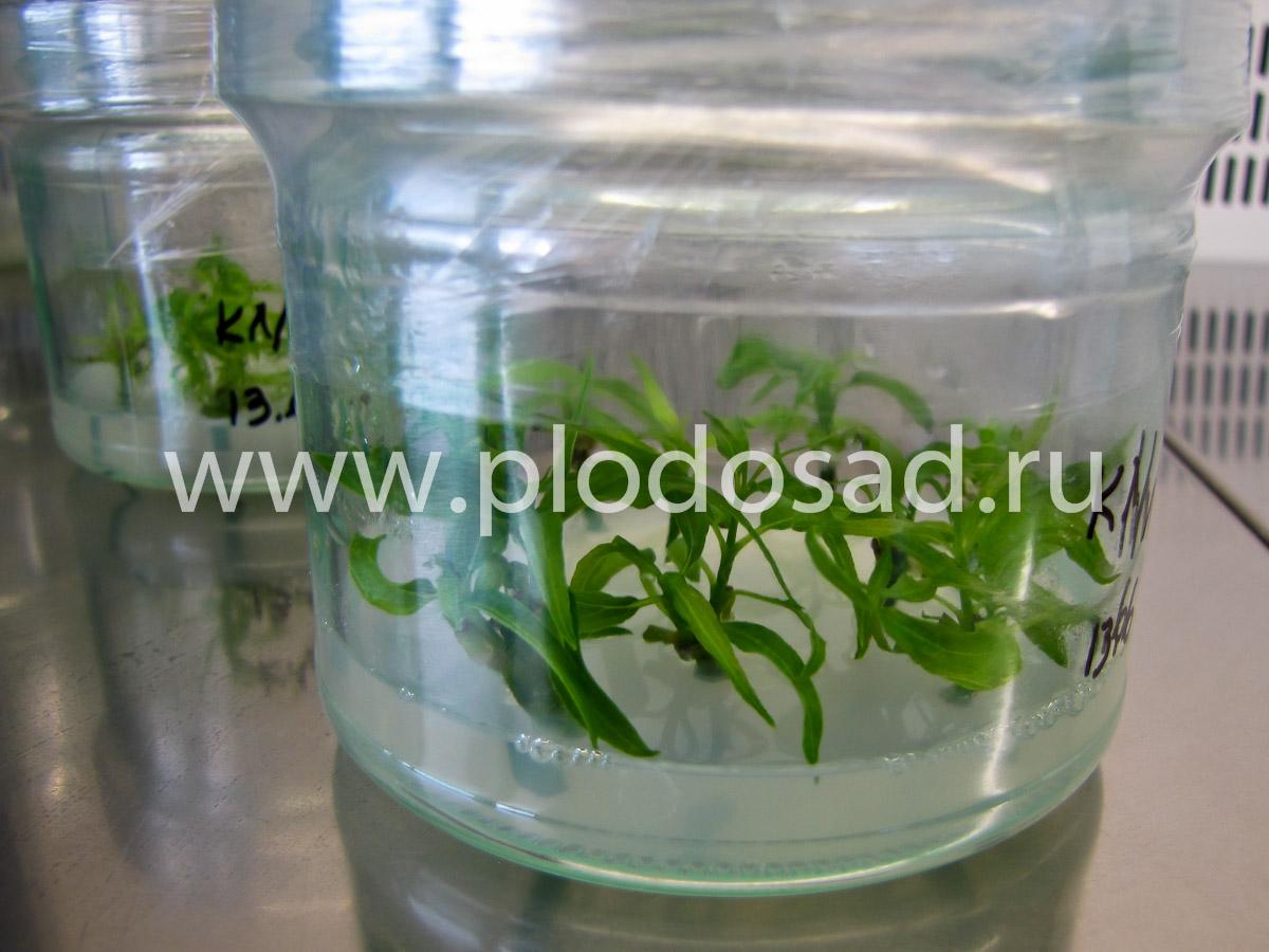Размножение кизила из меристемы «in vitro»