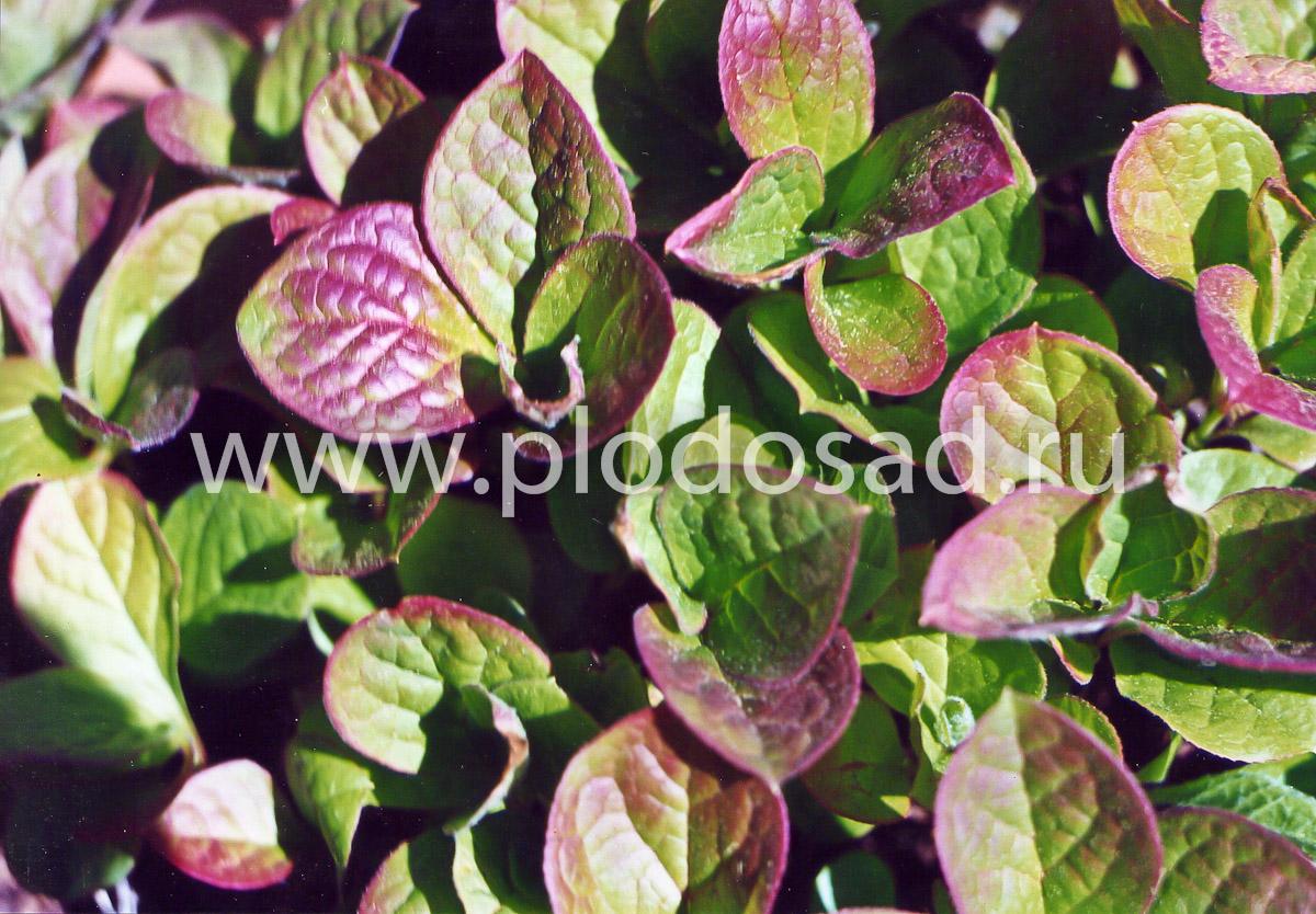 Растения красники