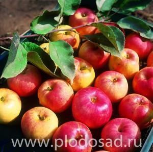Яблоки с дачи Ирины Сергеевны Исаевой