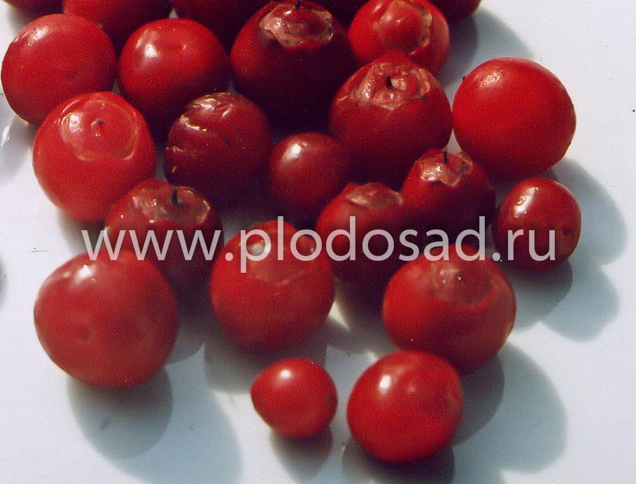 Ягоды красники