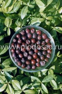 Плоды сорбаронии
