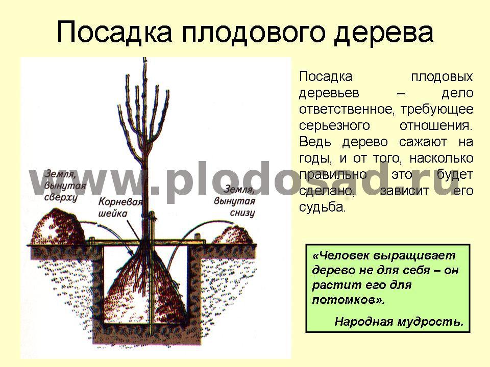 Как посадить яблоню весной пошаговое руководство с и описанием для