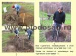 posadka-yabloni-12