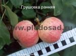 sorta-yabloni-isaeva-10