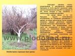 sorta-yabloni-isaeva-21