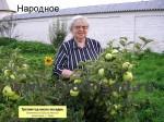 sorta-yabloni-isaeva-22