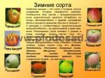 sorta-yabloni-isaeva-35
