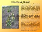 sorta-yabloni-isaeva-47
