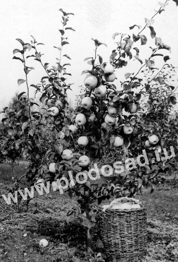 Карликовый сад плодоносит