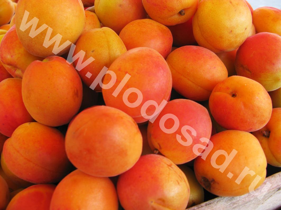 _абрикос