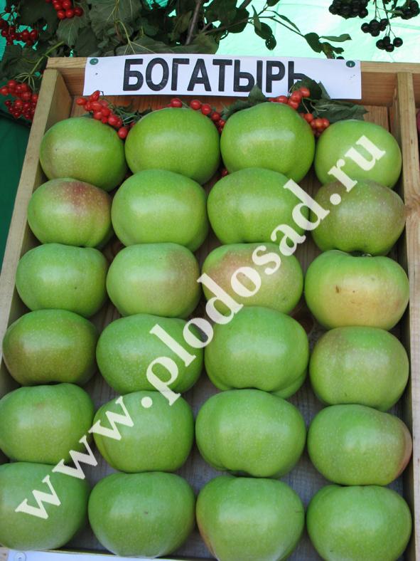 """Сорт яблони """"Богатырь"""""""