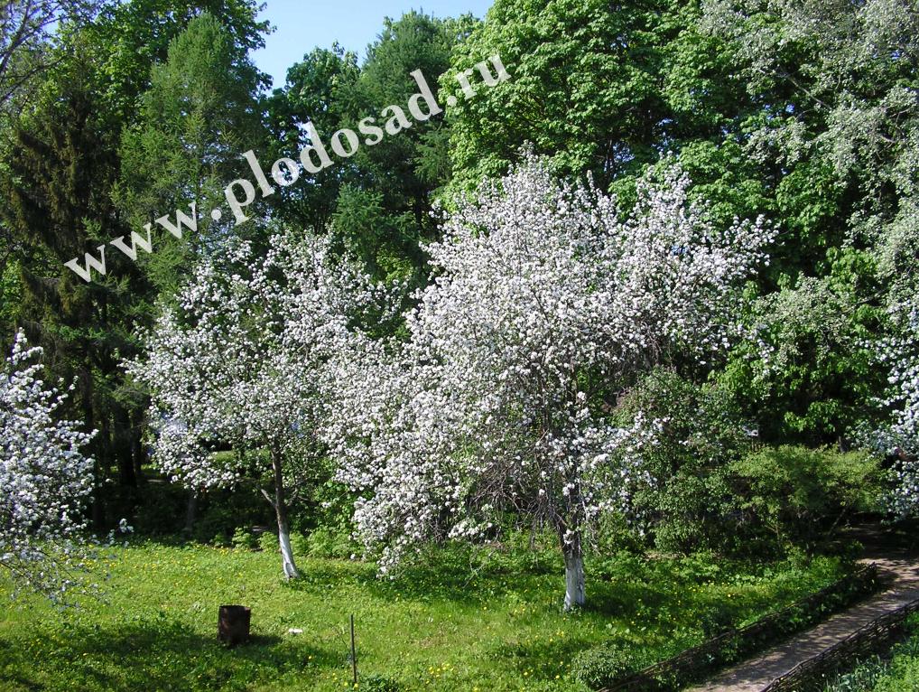 Цветение вишни в музее-заповеднике А.П. Чехова Мелихово