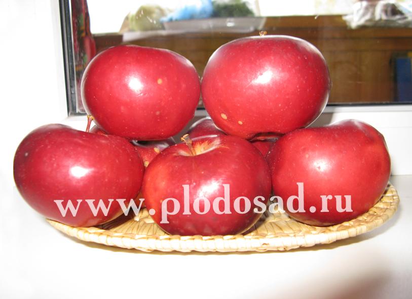 "Сорт яблони ""Звёздочка"""