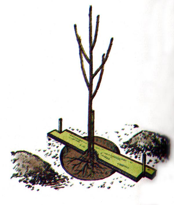 Когда сажают саженцы груш 21