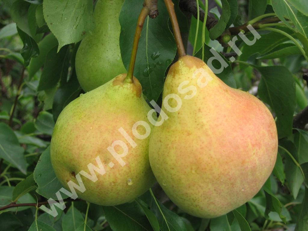 Лучшие сорта груши для Урала — Сады Сибири