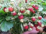 zemklunika-plod-2