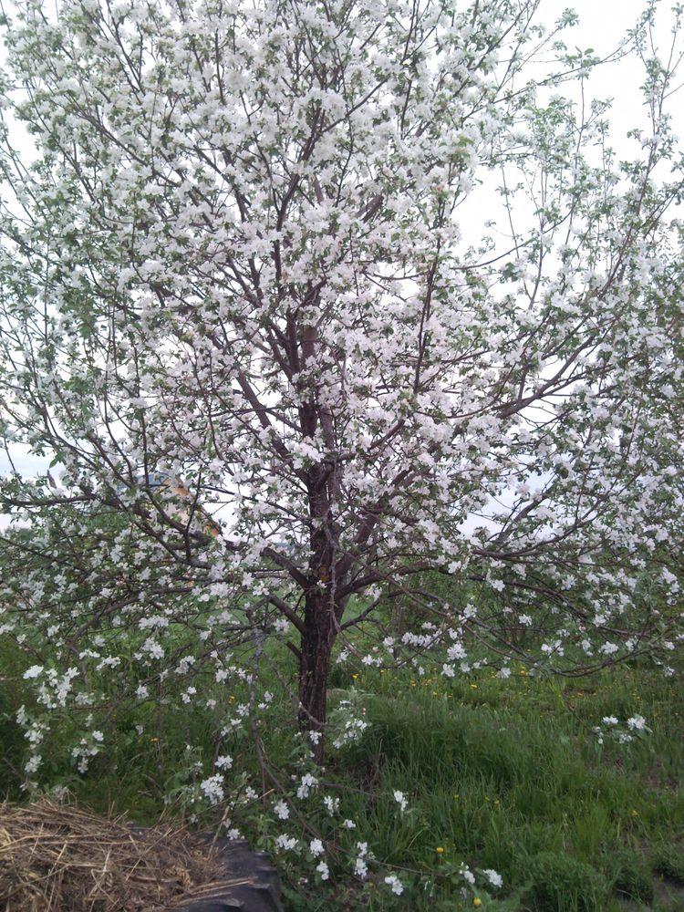 medunitsa-v-cvetu