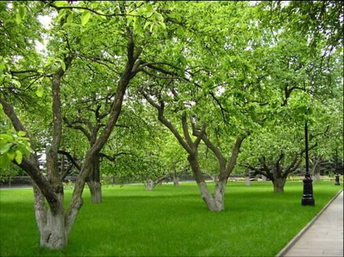 Старый яблоневый сад из сортов С. И. Исаева на территории Московского Кремля посажен в 50-е годы