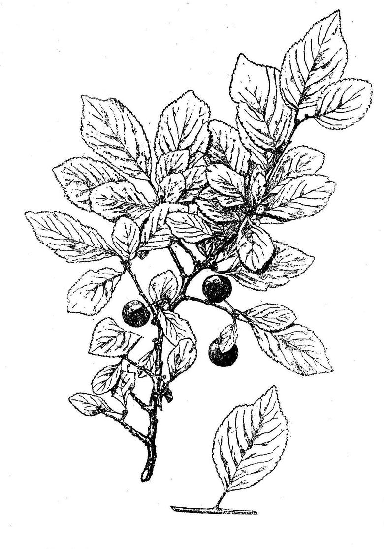 Prunus silvestris