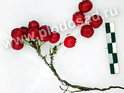 Плоды красники фото Сабитова