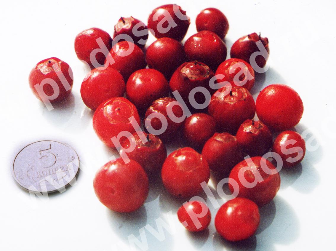 Сахалинская (ягоды)