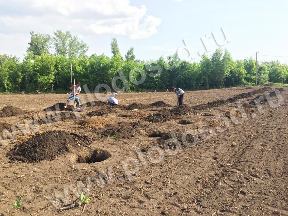 Копание ям под виноград (3)