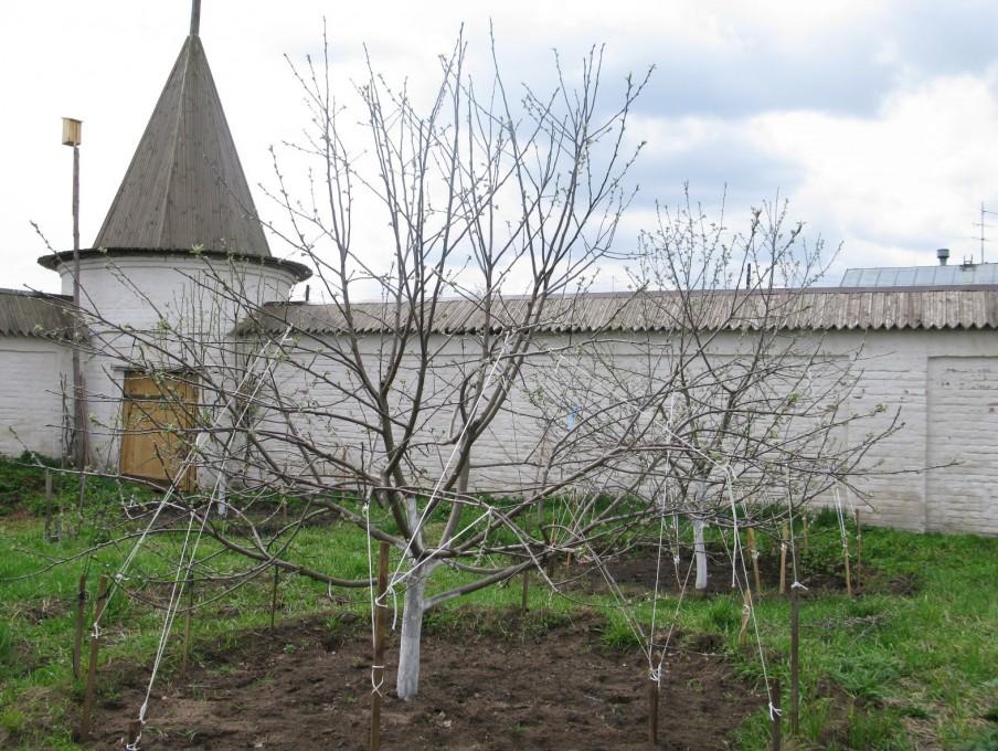 Вознесенский Оршин монастырь. Формирование кроны