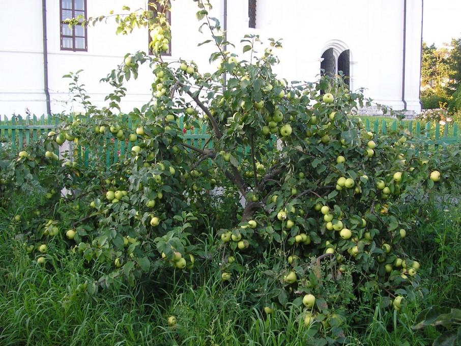 Вознесенский Оршин монастырь. Сорт чудное