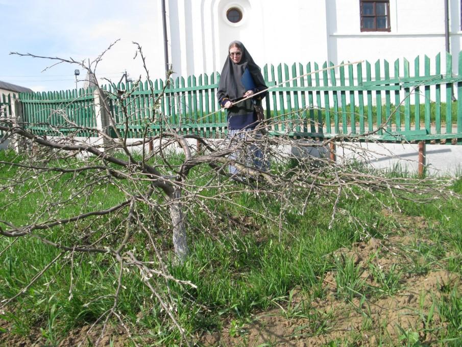 Вознесенский Оршин монастырь. Сорт Пластун 10 лет
