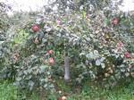 Уральские яблони-малютки в Вознесенском Оршине монастыре