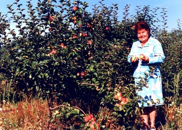 Рядом с деревом яблони сорта Полинка на агробиостанции МГПИ