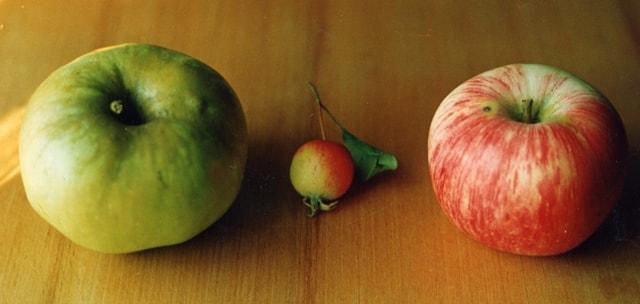 Плод сорта Память Будаговского и его исходные формы:  Богатырь и Китайка ранняя